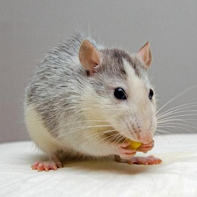 Kansas City Rat Control